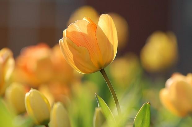 tulip-690320_640 (1)