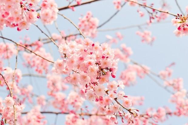 cherry-tree-1225186_640 (1)