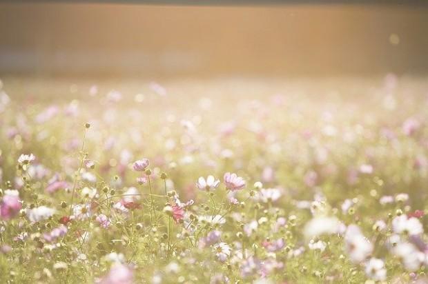 cosmos-flowers-1138041_640 (4)
