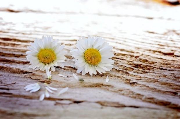 daisy-747320_640 (9)